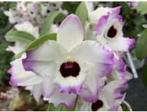 Dendrobium Brilliant Smile