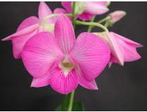 Dendrobium compactum Hybride 1
