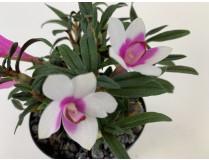 Dend. (cuthbertsonii x sulawesiense 'Pink') x cuthbertsonii