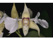 Dendrobium eximum
