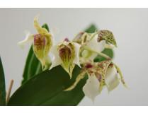 Dendrobium atroviolaceum x eximum