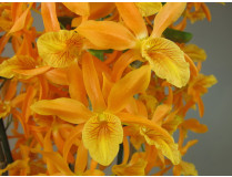 Dendrobium Stardust Firebird'