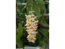 Dendrobium thyrsiflorum 1