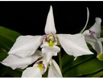 Dendrobium johnsoniae