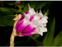 Dendrobium lawesii 'bicolor'