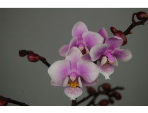 Doritaenopsis Little Pink Girl