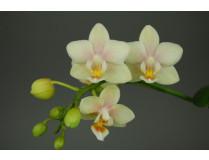 Doritaenopsis Sogo Bianca 1
