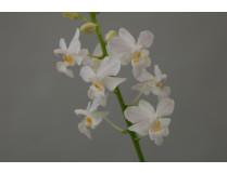 Doritis pulcherima 'alba' 1