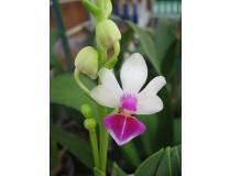 Doritaenopsis Anna-Larati Soekadi 'Rainbow'