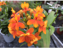 Epidendrum Ballerina 'Orange'