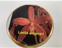 Laelia angereri (steriles Glas)