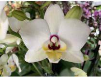 Phalaenopsis Coconut (Jgpfl.)