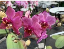 Phalaenopsis Blackberry Surprise (2 Rispen)