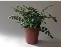 Asplenium dimorphum 'Parvati'