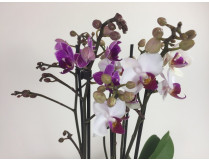 Phalaenopsis Twins (4-5 Rispen)