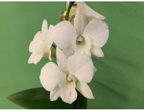 Dendrobium Sa-Nook 'Coconut Dream' (2 Rispen)