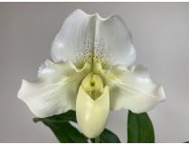 Paphiopedilum White Lady