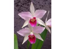 Laelia purpurata 'tipo rosada'