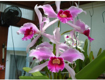 Laelia purpurata 'striata'