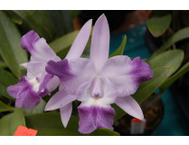 Laeliocattleya Cariad's Mini Queenie 'Angel Kiss'