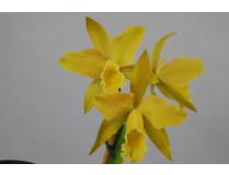 Laeliocattleya Daffodil Hybride