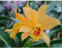 Laeliocattleya Golddigger 'Buttercup' HCC/AOS