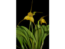 Masdevallia triangularis