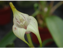 Masdevallia corriacea