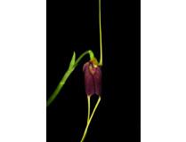 Masdevallia excelsior