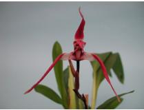 Maxillaria longissima 1