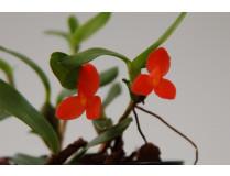Maxillaria sophronites 1