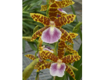 Miltonia Goodale Moir 'Golden Wonder' 2
