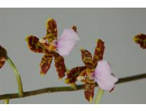 Odontoglossum bictoniense 'Celle' 2