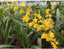 Oncidium Fragrancia x cheirophorum