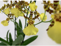 Oncidium Honey Bee