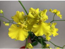 Oncidium Pure Yellow