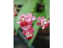 Oncidium Tiny Twinkle 'Red Fantasy' (2-3 Rispen)