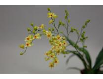 Oncidium Tiny Twinkle 'Gold Dust' (4 Rispen)