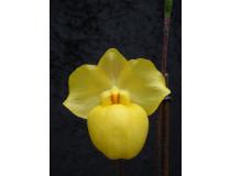 Paphiopedilum armeniacum 1