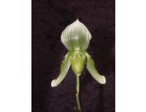 Paphiopedilum callosum 'viridiflorum'