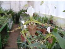 Paphiopedilum dianthum