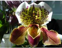 Paphiopedilum Hybride 3
