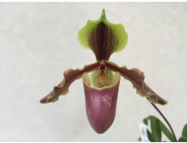 Paphiopedilum X herrmannii