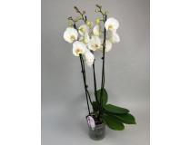 Phalaenopsis Solitär 'White'