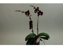 Phalaenopsis Elegant 'Debora'