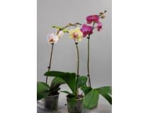 Phalaenopsis Sortiment