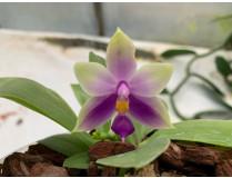 Phalaenopsis bellina 'blue' x samera 'blue'