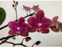Phalaenopsis Diffusion (2 Rispen)