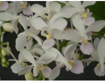 Phalaenopsis equestris 'alba'