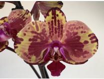Phalaenopsis Isa